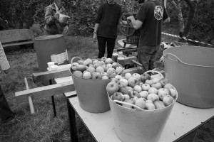 Baskets of apples being washed before juicing