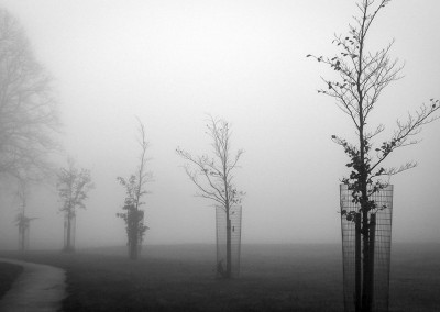 Newly planted trees on a foggy day