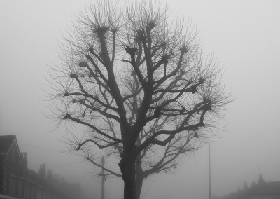 A pollarded tree on a foggy day