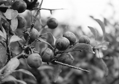 Sloes on the Budleigh Salterton coastal path