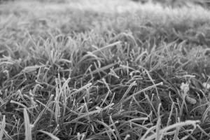 Frosted grass - February