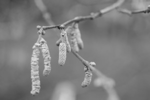 Hazel catkins at the Horfield organic orchard in January