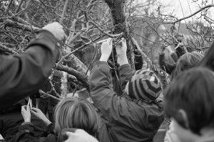 Tying clouties on the wassail tree at Horfield organic orchard