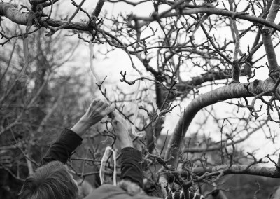 Tying ribbons to the Wassail tree