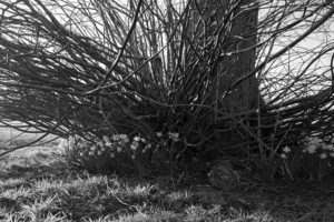 Daffodils growing under a tree - Spring gallery image