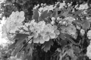 A branch of Hawthorn blossoms - May 2016