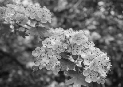 Hawthorn blossom in a hedge on Ashley Vale allotments May 2016