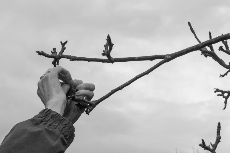 Tying a ribbon to the Wassail tree 2017