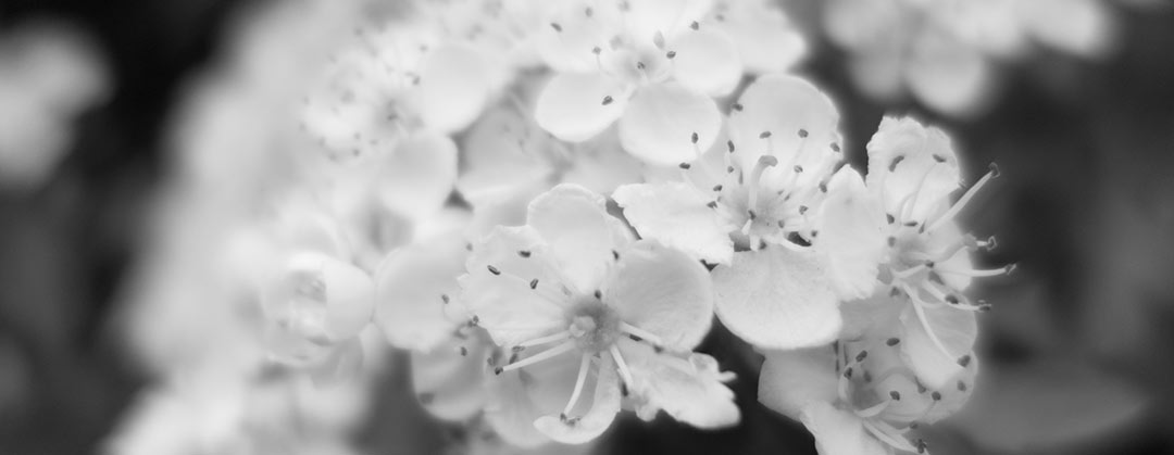 Beltane hawthorn blossom in the hedgerow