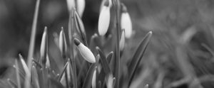Winter snowdrops heralding the approaching spring