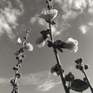 Summer hollyhocks swaying in the sun