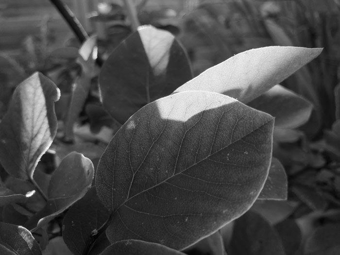 Quince leaves lit by the autumn sunset